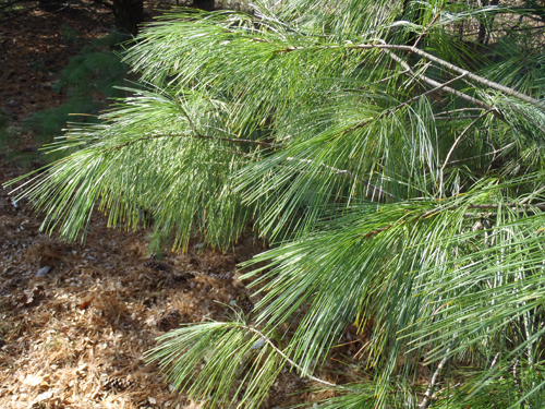 List Types of Pine Trees http://www.toledogarden.org/?p=1150